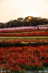 お花畑と夕日
