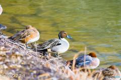 水辺の野鳥-1