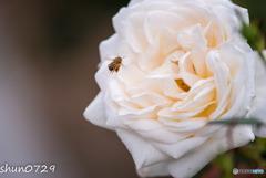 薔薇公園-4