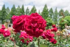 薔薇公園-1