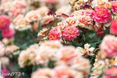 薔薇公園-7