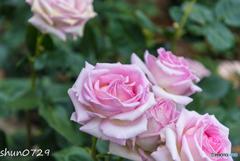 薔薇公園-3