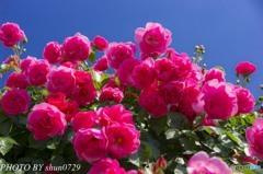 薔薇園-2