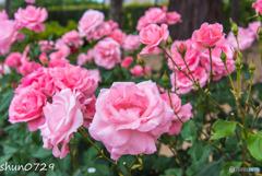 薔薇公園-5