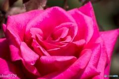 薔薇その2