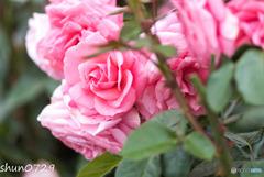 薔薇公園-8