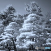 Snow Magic(雪中松)