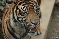 Tiger Smile(1)