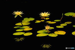 黒に咲く睡蓮の花