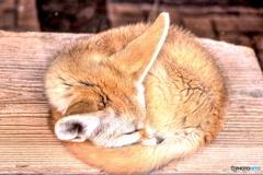 居眠りフェネック