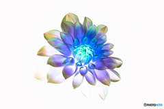 Rainbow Dahlia