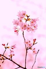 桜色の日差し