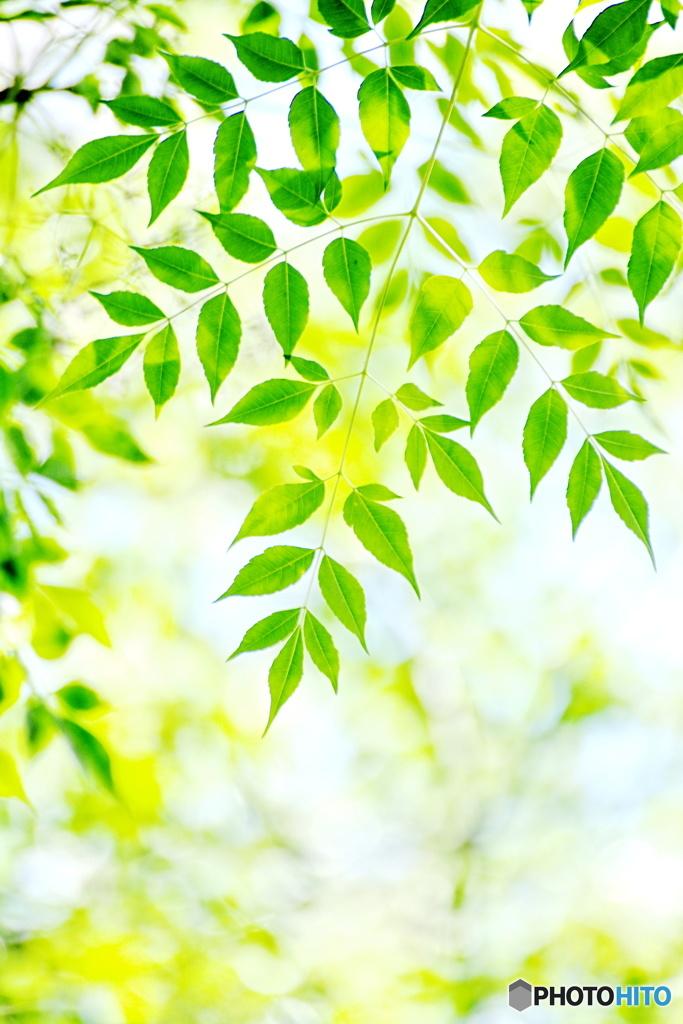 爽やかなセンダンの葉の緑