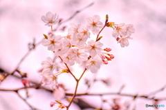 桜色に包まれた桜