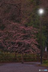 暗がりの春色