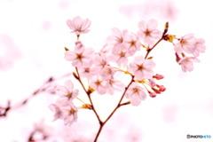春色霞(はるいろかすみ)