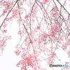 花暖簾(八重紅枝垂れ)
