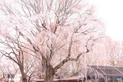 自然文化園に降った桜雨