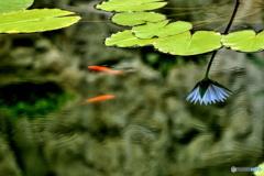 金魚と逆さ睡蓮