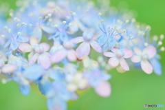紫陽花の中のテルテル坊主
