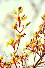 春色紅葉(はるいろこうよう)
