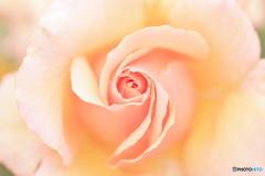 薔薇の中心