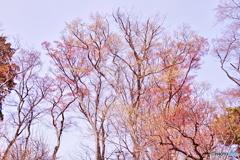 春紅葉(はるこうよう)