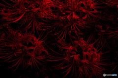 妖艶な赤い蜘蛛