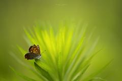 紅蜆蝶 02