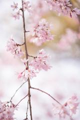 今年も桜が見れました