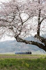 桜の向うを行く