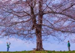 大きなサクラの木の下で