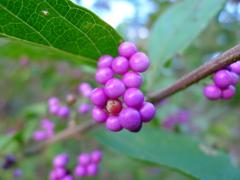 紫色もまた秋