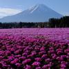 富士芝桜まつりにて