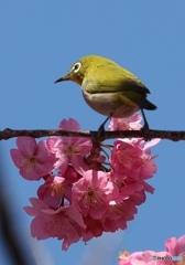横浜緋桜とメジロ