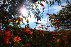 季節外れの秋桜