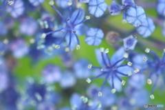 紫陽花・ロンド
