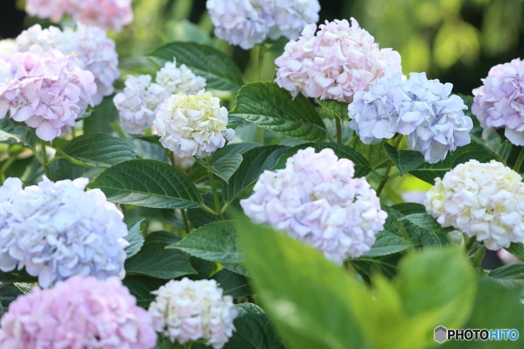 紫陽花・色々