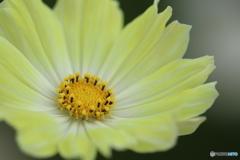 コスモス・yellow