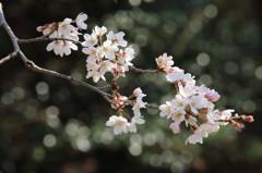 ソメイヨシノ開花(2)