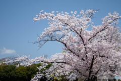 桜・満開(4)