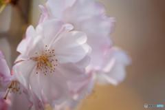 桜・咲き始め(1)