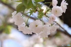 桜・通り抜け(2)