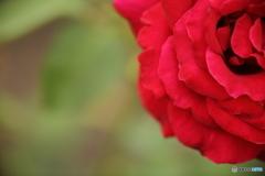 薔薇・赤2