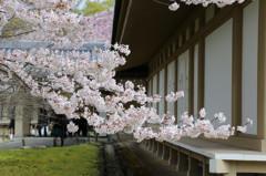 桜満開(1)