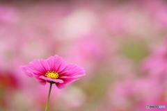 秋桜・ピンク(3)