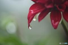 ダリア・雨上がり