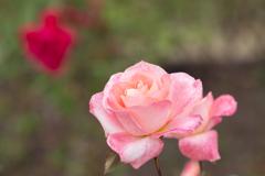 秋バラ・ピンク