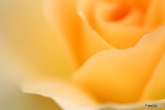 秋薔薇・黄