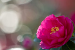 冬の光・山茶花